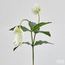 Květ medinilla